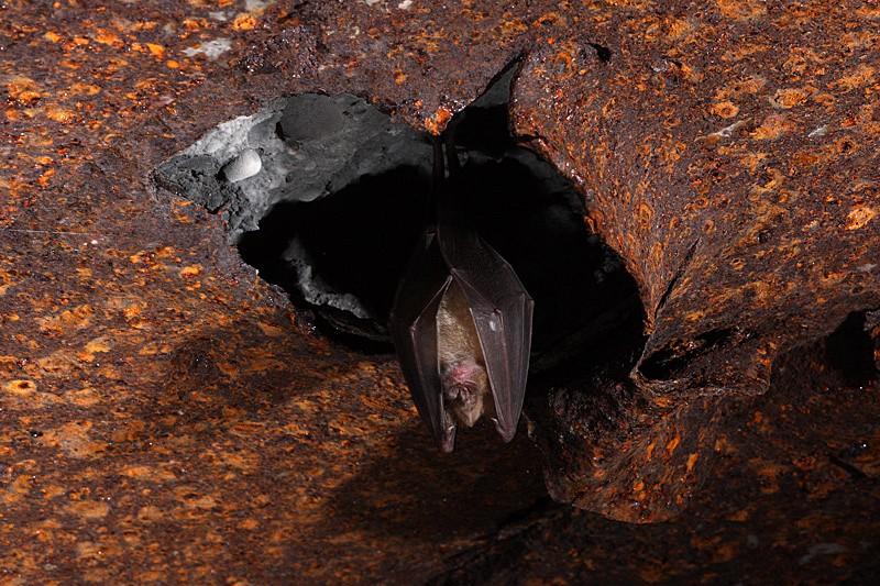 Chauves-souris dans les bunkers _mg_7714
