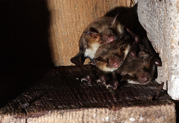 Chauves-souris dans les bunkers _mg_7715