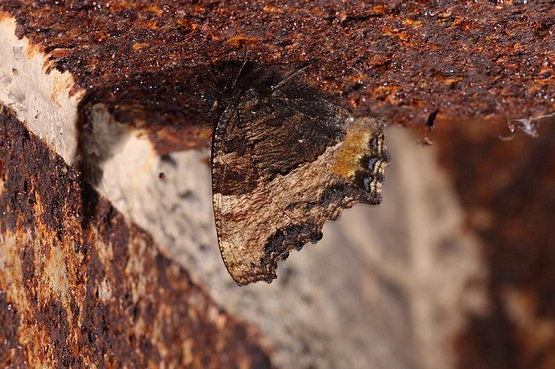 Papillons des bunkers (Prospection d'Hiver) PDF - Page 2 _mg_7810