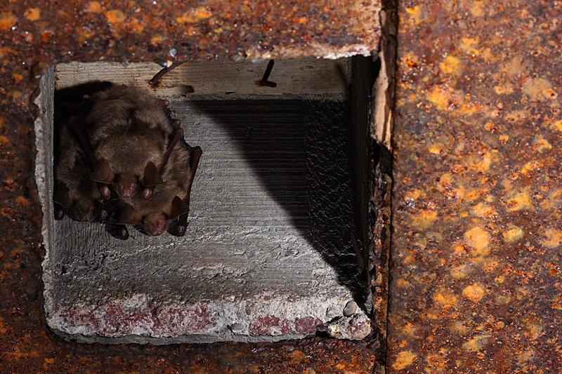 Chauves-souris dans les bunkers _mg_7811