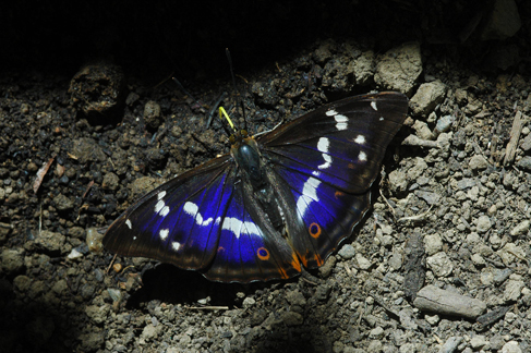 ilia, daplidice, lathonia I_iris10