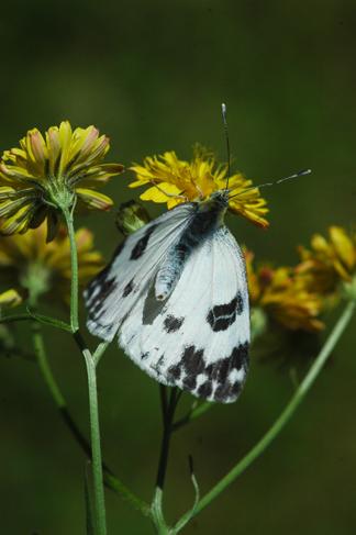 ilia, daplidice, lathonia P_dapl10