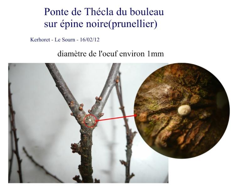 Thécla du bouleau: en kreiz Breizh aussi Thaacl10