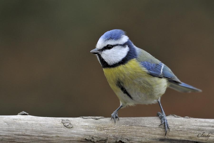 Photos oiseaux hiver 2012 - Nikon 1 V1  (MAJ 14/04) 12031012