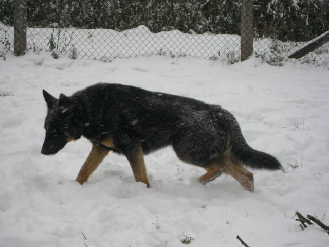 KURT mâle berger allemand 9 ans (Dysplasique) 03710