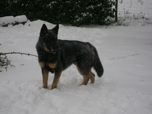 KURT mâle berger allemand 9 ans (Dysplasique) 03810