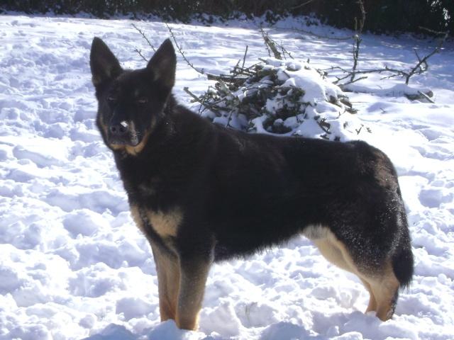 KURT mâle berger allemand 9 ans (Dysplasique) Dsc04821