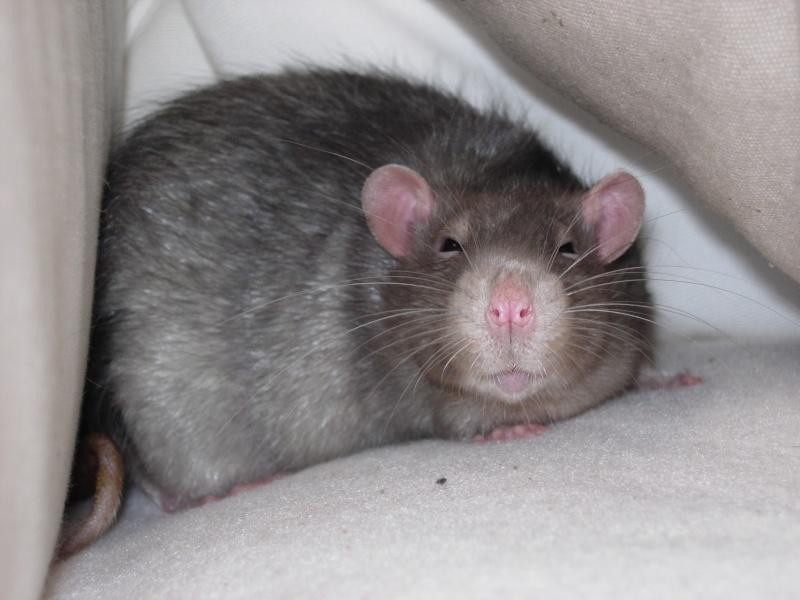 Mon rat ne bouge plus  Dscn4611