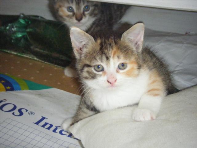CHABADA - 6 mois - Femelle tricolore tigrée 00910