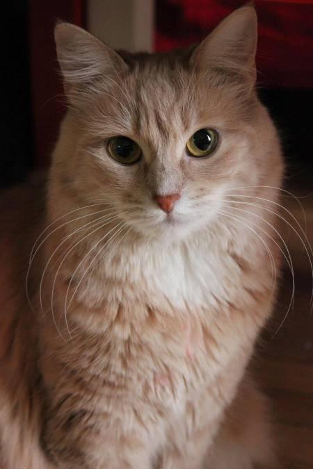 CLOCHETTE - 2 ans - Femelle couleur crème aux poils mi-longs 116