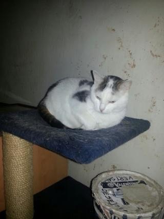 MELODIE - 2 ans - Femelle blanche et marbrée marron 20121019