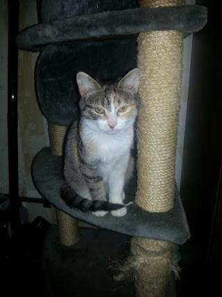 CHABADA - 6 mois - Femelle tricolore tigrée 20121043