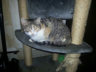CHABADA - 6 mois - Femelle tricolore tigrée 20121045
