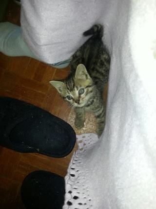 HECTOR - Mâle tigré marron non sevré => Adoptable début novembre 20121056
