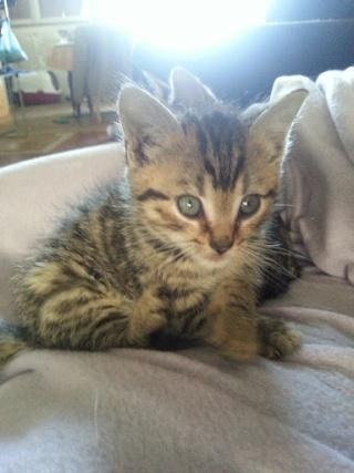 HECTOR - Mâle tigré marron non sevré => Adoptable début novembre 20121058