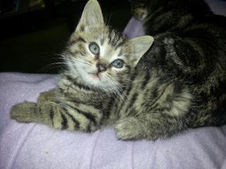 HECTOR - Mâle tigré marron non sevré => Adoptable début novembre 20121060