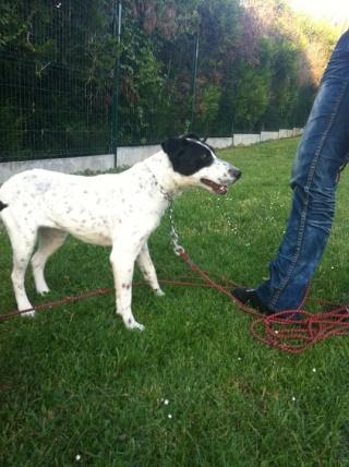 PERDITA - 8 mois - Femelle croisée chien de chasse blanche & tâches noires 29802810