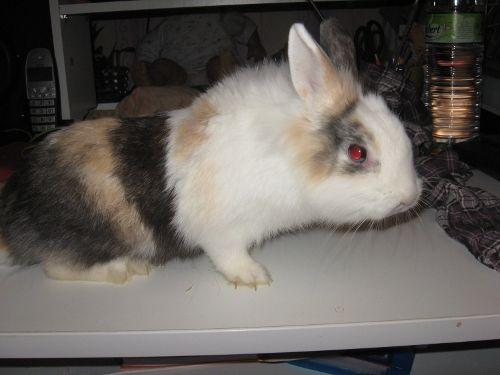 PRUNO - Jeune lapin nain mâle tricolore aux yeux bleus 500_7c10