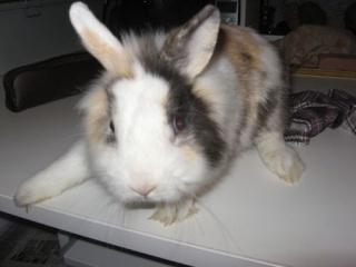 PRUNO - Jeune lapin nain mâle tricolore aux yeux bleus 500_d310