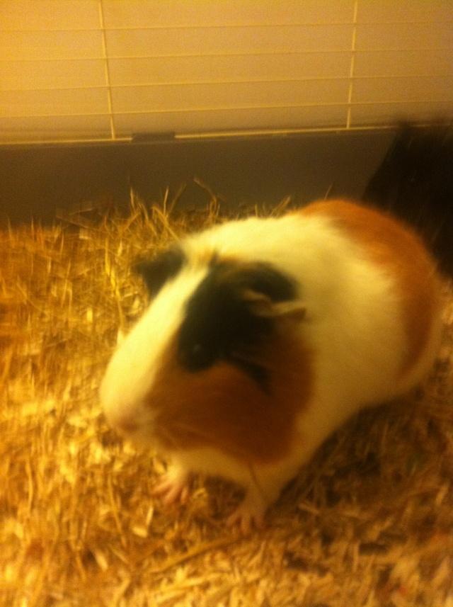 IPSA - Cochon d'inde femelle tricolore à poils lisses Img_2229