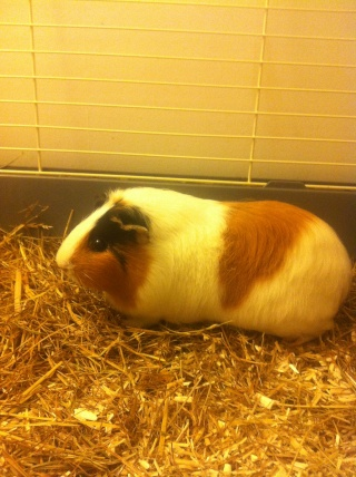 IPSA - Cochon d'inde femelle tricolore à poils lisses Img_2230