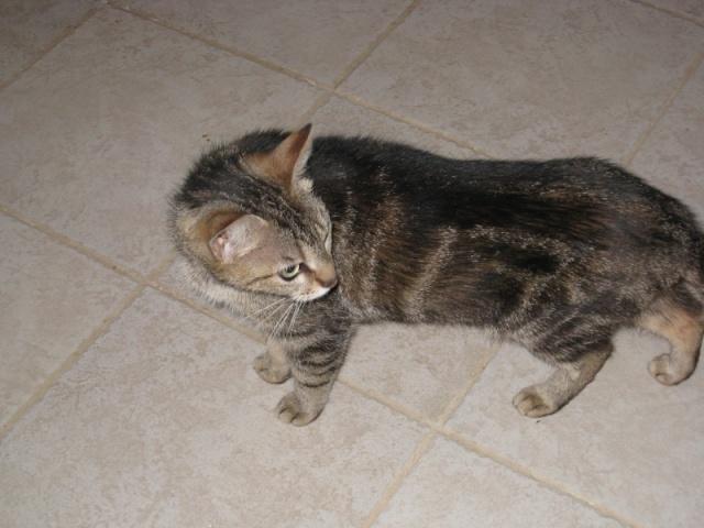 BENNIE - 6 ans - Femelle marbrée gris/marron Img_2714