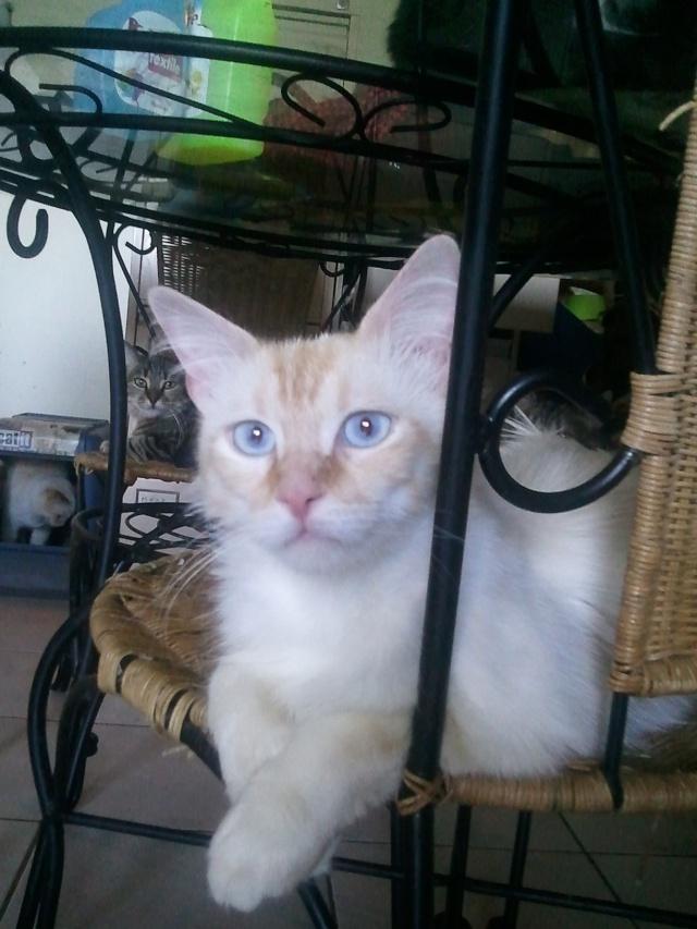 FARCEUR - 1 an - Mâle blanc crème angora aux yeux bleus Photo_11