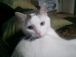 MELODIE - 2 ans - Femelle blanche et marbrée marron Photo_64