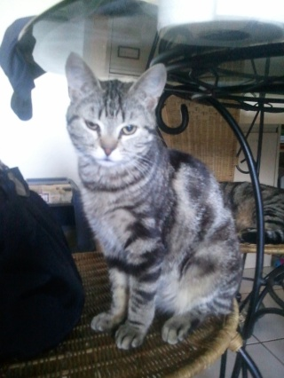 KOKIRIS - 9 mois - Mâle marbré gris Wp_00022