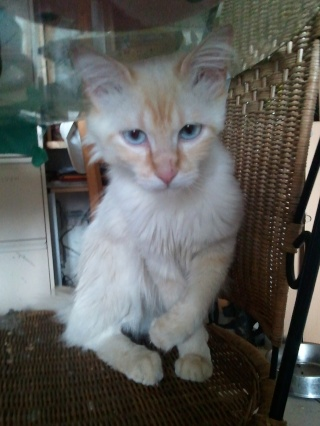 FARCEUR - 1 an - Mâle blanc crème angora aux yeux bleus Wp_00024
