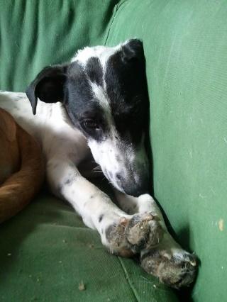PERDITA - 8 mois - Femelle croisée chien de chasse blanche & tâches noires Wp_00027