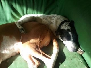 PERDITA - 8 mois - Femelle croisée chien de chasse blanche & tâches noires Wp_00028