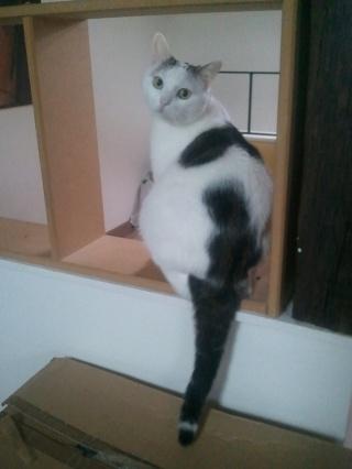 MELODIE - 2 ans - Femelle blanche et marbrée marron Wp_00103