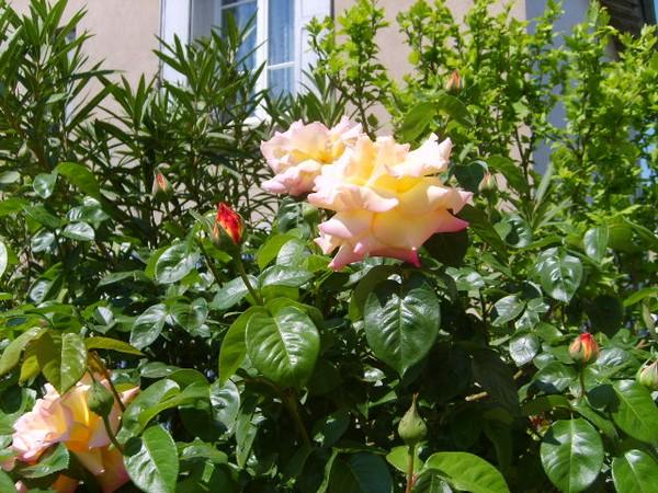La vie en rose Roses-11