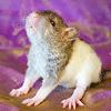 Les ratons de série Z de DTC-IND Princess Carwash et IND Feirefiz ! 00bloo10