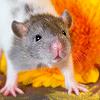 Les ratons de série Z de DTC-IND Princess Carwash et IND Feirefiz ! 00intr10