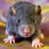 Les ratons de série Z de DTC-IND Princess Carwash et IND Feirefiz ! 00redn10