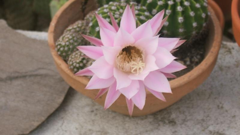 fleurs de cactus Dscf0810
