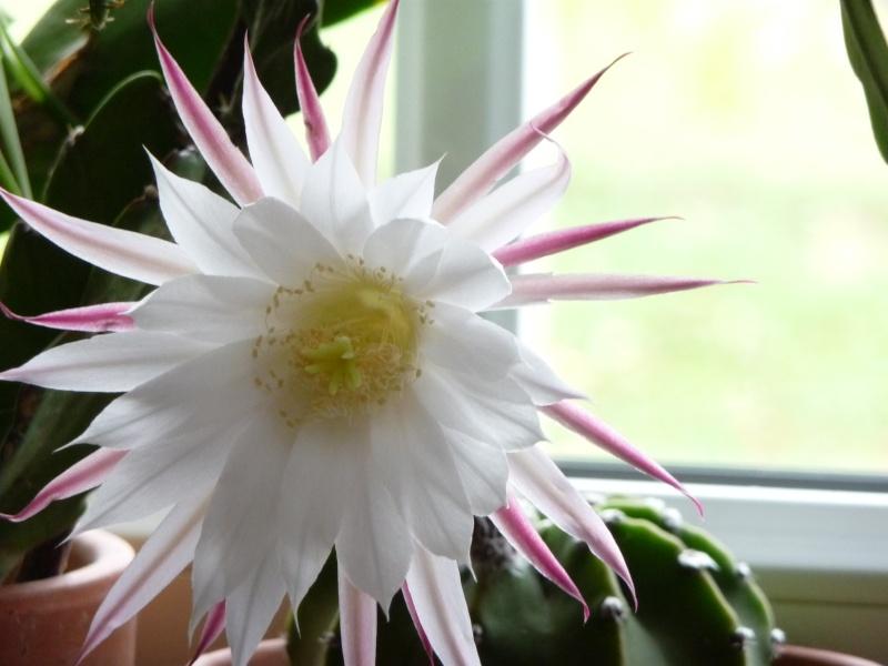 fleurs de cactus P1000710