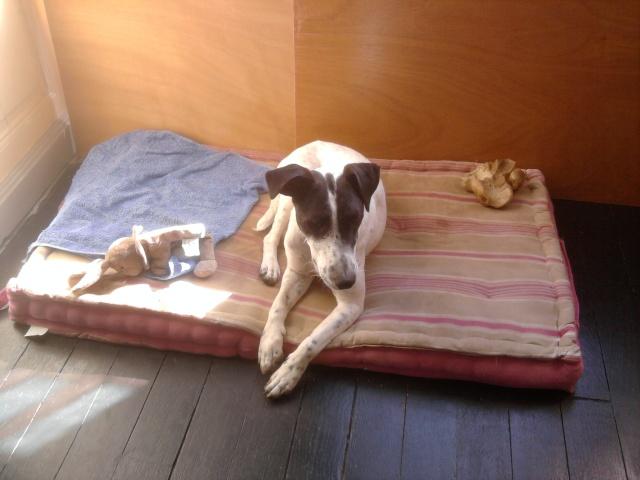 PERDITA - 8 mois - Femelle croisée chien de chasse blanche & tâches noires Photo011