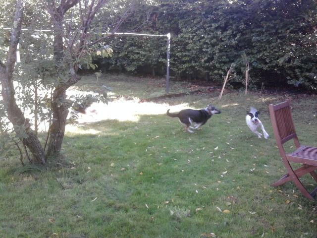PERDITA - 8 mois - Femelle croisée chien de chasse blanche & tâches noires Photo012