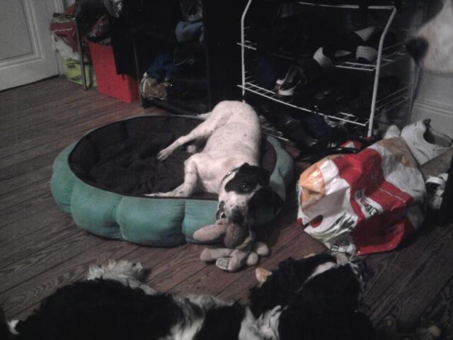 PERDITA - 8 mois - Femelle croisée chien de chasse blanche & tâches noires Photo015