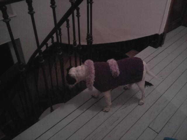 PERDITA - 8 mois - Femelle croisée chien de chasse blanche & tâches noires Photo019