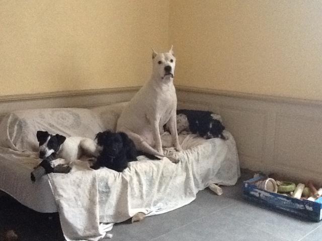 PERDITA - 8 mois - Femelle croisée chien de chasse blanche & tâches noires Photo10