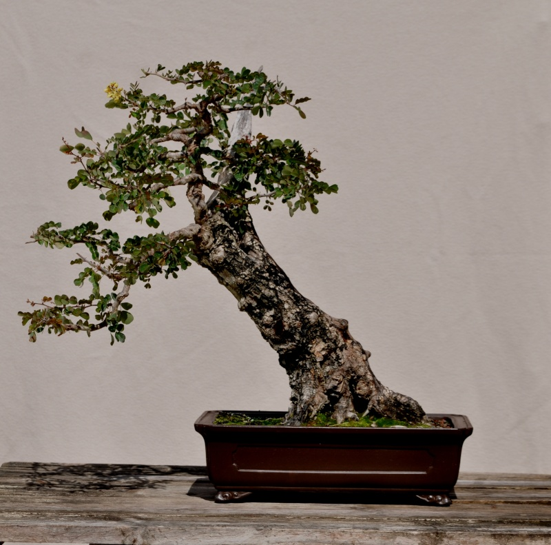 Old Wise One Bonsai10