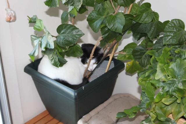 Minouchette, chatte de 2 ans abandonnée pendant un déménagement (77)) Minou-12