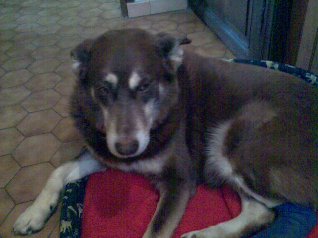 Ruby, chien croisé husky agé - retrouvé Ruby10