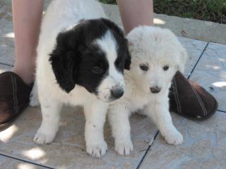 2 chiots femelles 2/3 mois type chien de berger patou, handseer.... Sylvie10