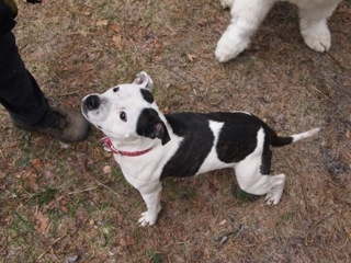 Nita fostered Staffie girl looking for her forever home. Nita_n12