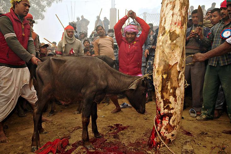 Stop the Gadhimai Massacre 2014 Hindu-10